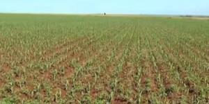 Plantio do milho chega 87% e, colheita de soja, a 93% em MS