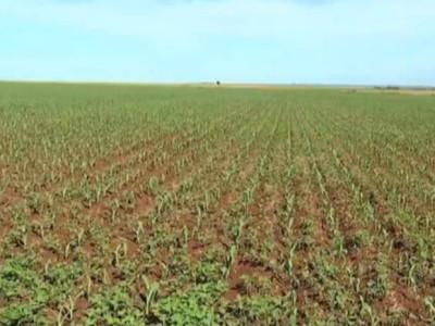 Plantio do milho safrinha atinge mais de 96% das lavouras na região da Grande Dourados