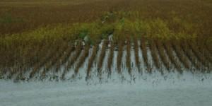 Com chuvas, produtividade da soja pode despencar