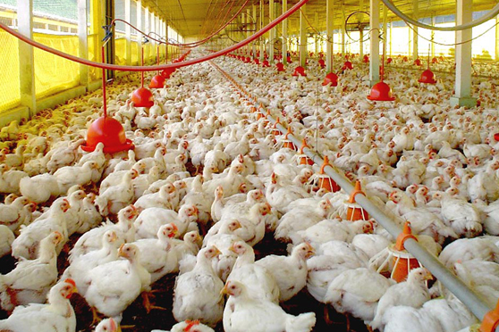 avicultura