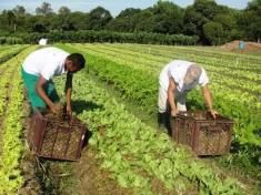 Hortaliças orgânicas produzidas na região de Dourados. (Foto: Ana Lucia Ferreira).