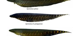 Pesquisa identifica espécies de iscas vivas no Pantanal