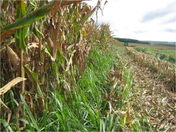 Integração lavoura-pecuária é uma ótima opção para melhorar a lavoura e a pastagem. (Foto: Divulgação).