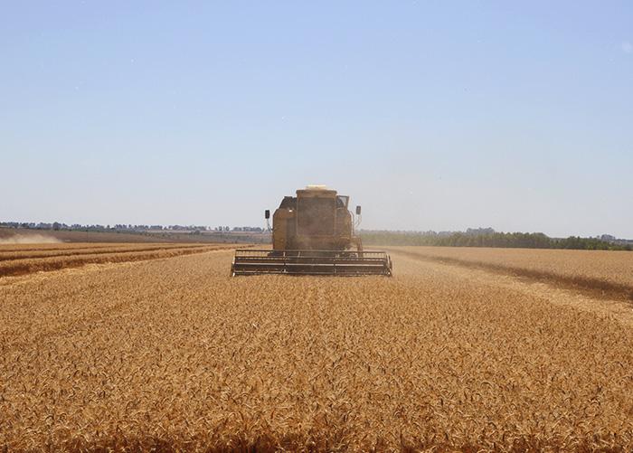 Produção foi de 139,8 sacas por hectare (sacas/ha), ou 8.388 quilos por hectare (kg/ha) de grãos, enquanto a média nacional é de 46,66 sacas/ha ou 2.800 kg/ha.  (Foto: Fabiano Bastos).