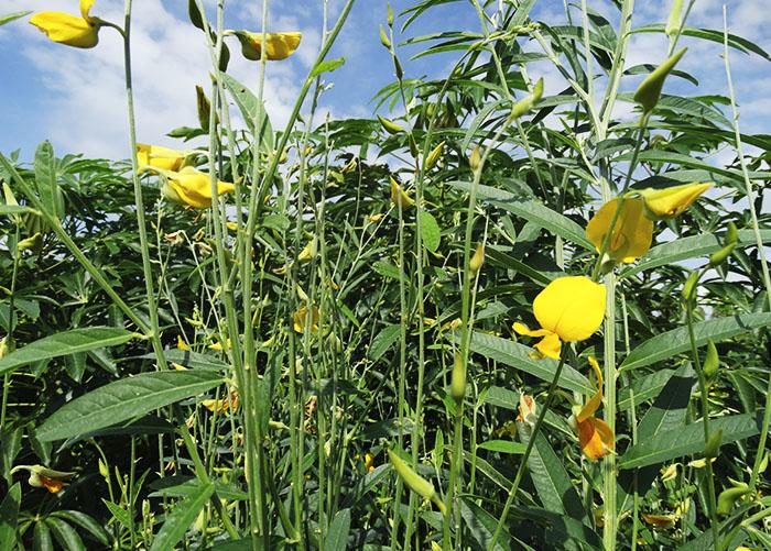 A tecnologia consiste no cultivo e corte de plantas em plena floração. A preferência é por leguminosas, .(Foto: Fernando Sininbu)
