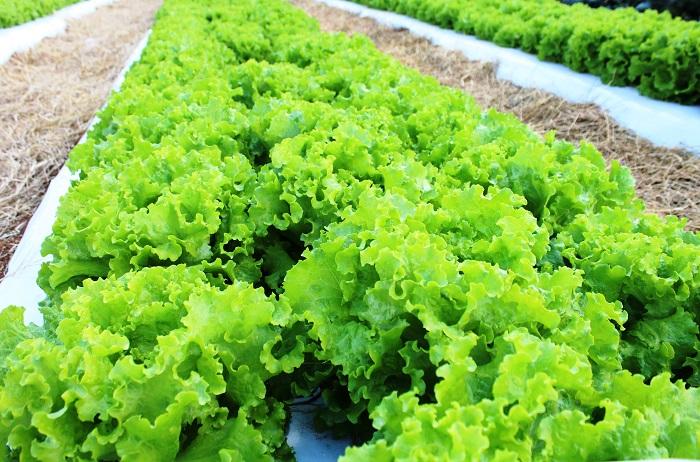 A alface BRS Mediterrânea também se destaca pelo vigor no crescimento vegetativo, sendo, em média, sete dias mais precoce que as cultivares comerciais no mercado. (Foto: Ítalo Ludke).