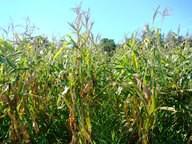 Informações atualizadas sobre o Consórcio Milho-Braquiária, que é uma tecnologia amplamente adotada pelos produtores rurais no município, foi um dos temas de Seminário. (Foto: Divulgação).