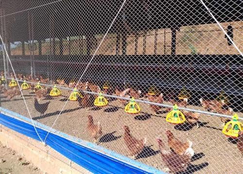 A atividade avícola de postura é hoje uma parcela significativa da produção no País. (Foto: João Dionísio Henn).