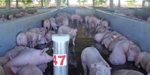 Atenção ao bem-estar animal melhora resultados econômicos da produção de suínos