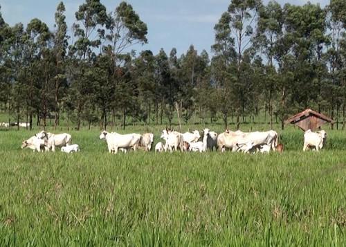Fazenda Flor Roxa conseguiu plantar em solo arenoso após uso do ILP. (Foto: Décio de Assis).