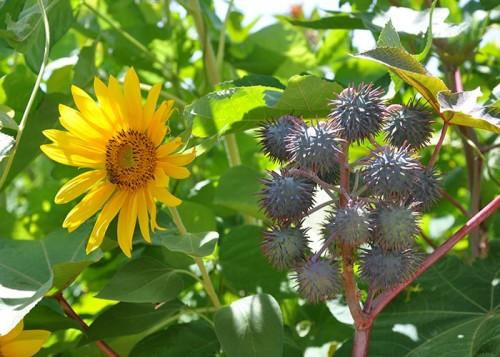 Girassol e mamona estão entre as 15 espécies vegetais propostas para compor os sistemas. (Foto: Fernanda Birolo).
