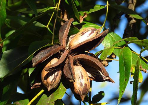 A nogueira-pecã é uma das poucas culturas alternativas para a entressafra de outras frutíferas no Brasil. A sua colheita ocorre no meses de abril e maio. É uma ótima opção para diversificação da propriedade rural. - (Foto: Carlos Martins).