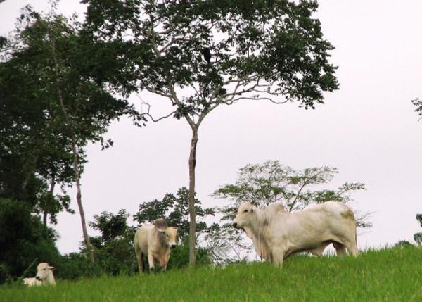 Inserção de árvores mais adequadas recupera pastagem e melhora produção. (Foto: Carlos Maurício).