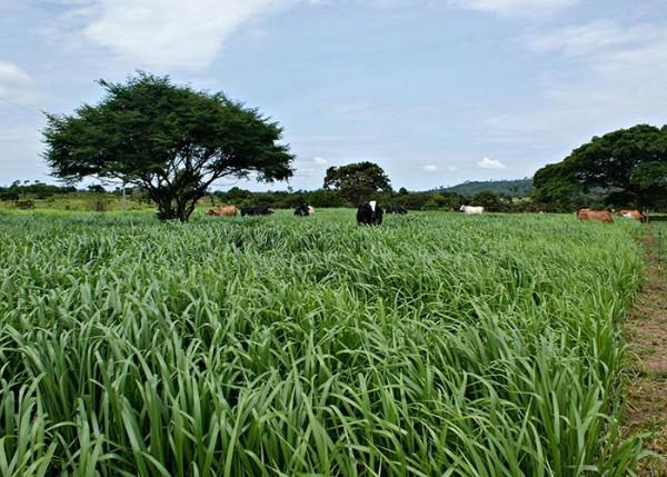 Pastagens recureradas proporcionam mais lucro ao produtor. (Foto: Francisco Chagas da Silva).