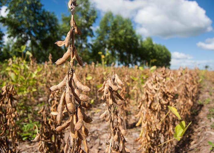 O balanço nutricional da lavoura de soja no Piauí e Maranhão pode ser feito em segundos. (Foto: Vinicius Braga).