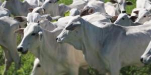 Com falta de oferta de animais, arroba do boi aumenta 63% e chega a R$ 250