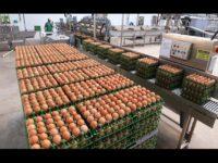 MS registra queda no abate de bovinos e aumento na produção de ovos